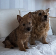 bild1 båda hundarnaliten